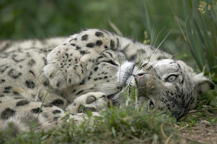 Snow Leopard Uncia Uncia Pair Playing Photograph by Cyril Ruoso