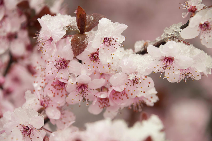 [Image: snow-on-cherry-blossoms-2-julie-richie.jpg]