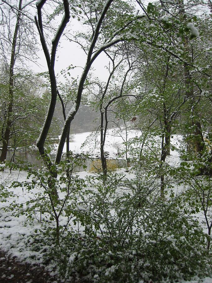 Snow Photograph - Snow On Spring Buds by Garth Glazier
