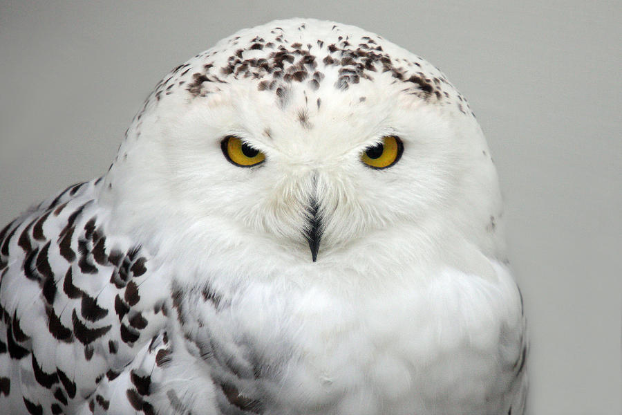 Snow Owl Photograph