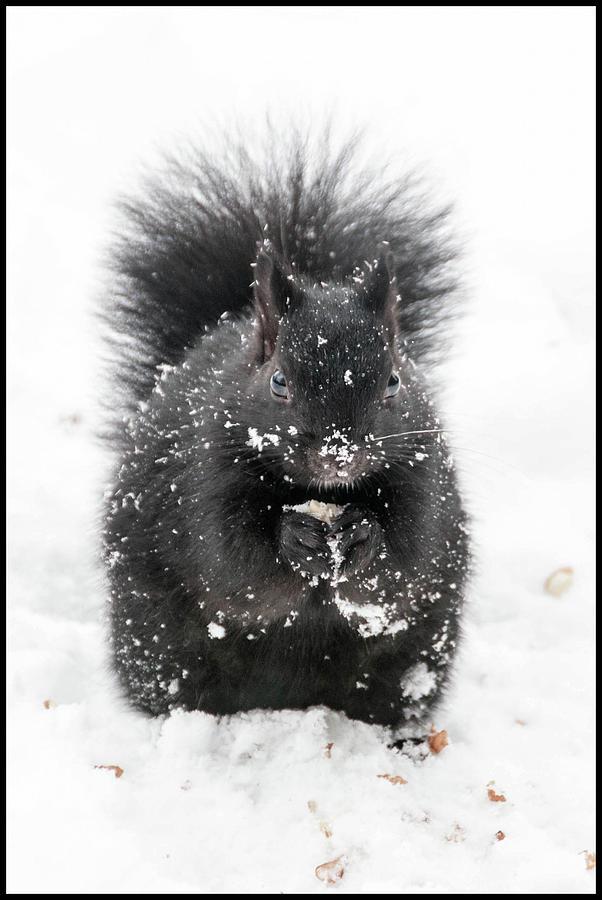 Snow Squirrel by Geraldine Alexander
