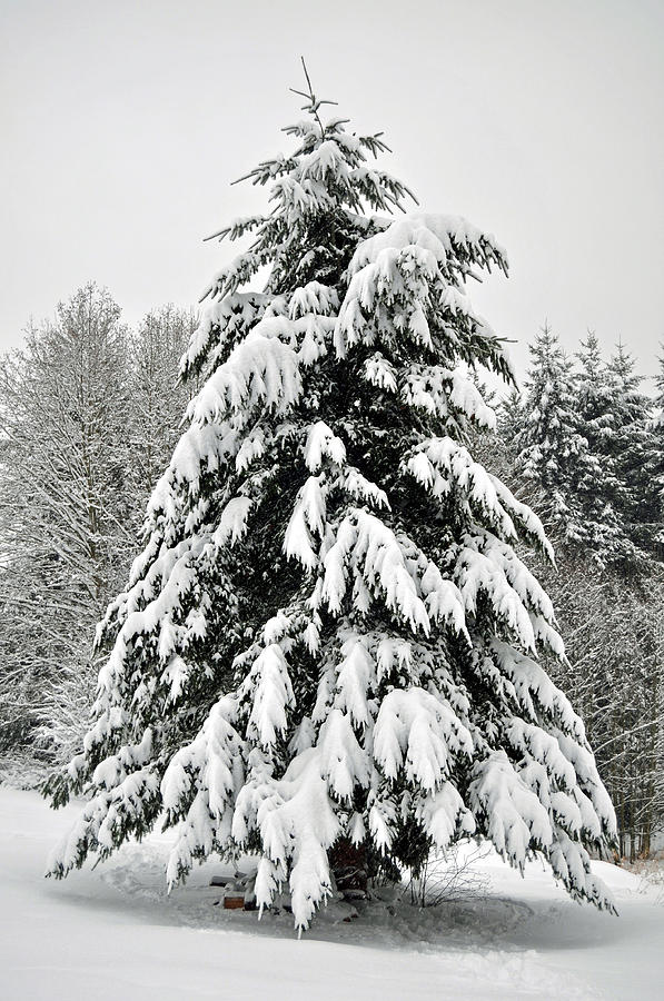Snow Photograph - Snow Tree by Matthew Adair