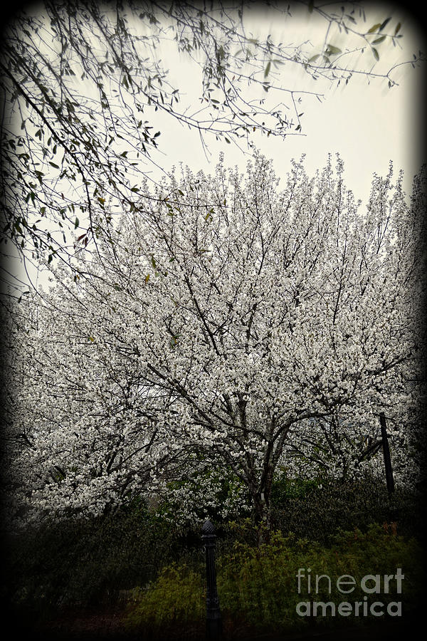 Nature Photograph - Snow White Flowering Tree by Eva Thomas