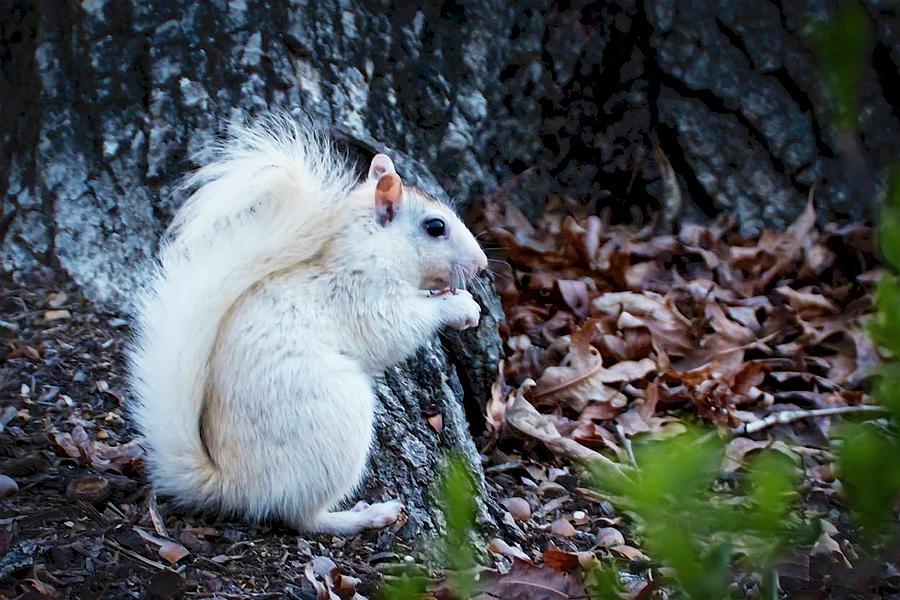 Nature Photograph - Snow White......Squirrel, by Zayne Diamond Photographic