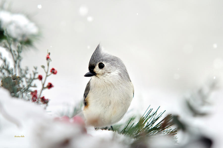 Snow White Tufted Titmouse Art Prints for Sale