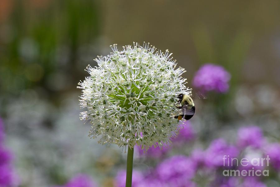 Snowball Photograph - Snowball And The Bumblebee by John Franke