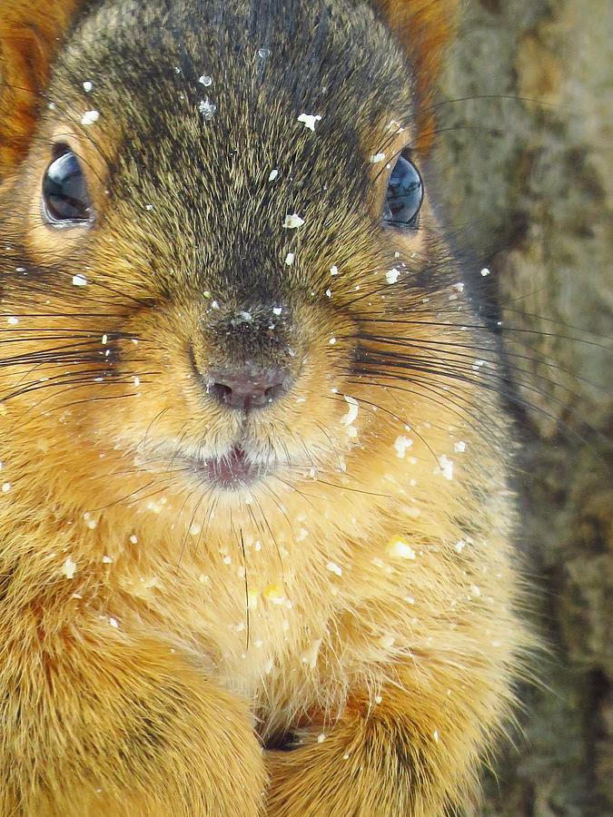 Squirrels Photograph - Snowflake Sprinkles by Lori Frisch