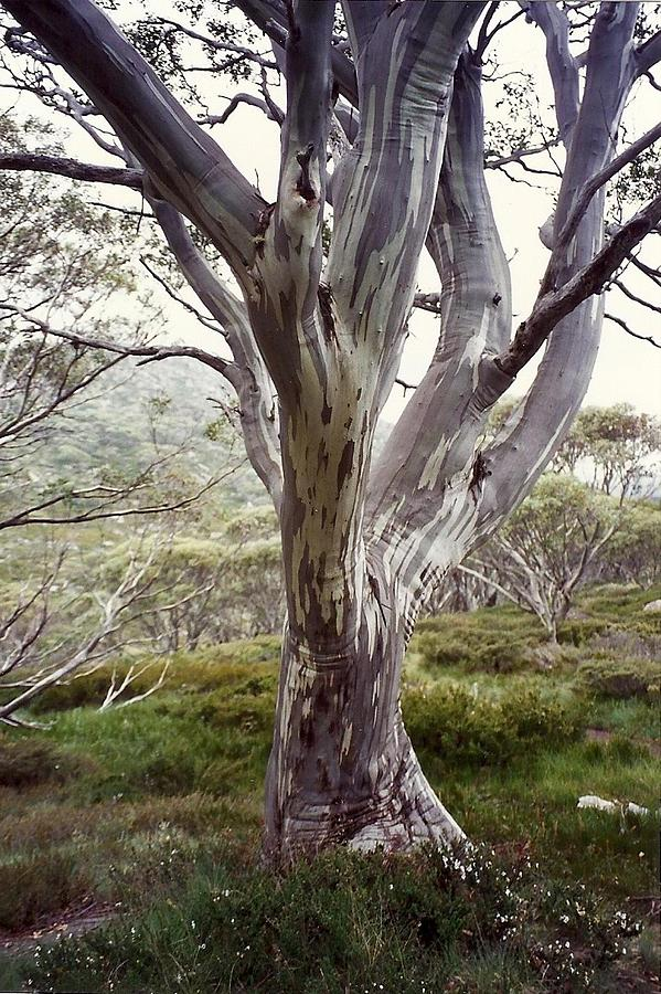 Snowgum Like Whirling Dervish Photograph by Adrianne Wood