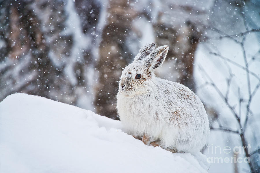 Snowshoe Hare Pictures 138 by World Wildlife Photography