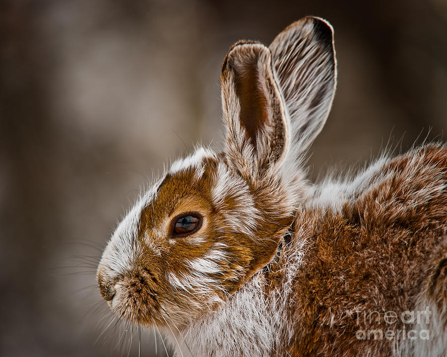 Snowshoe Hare Pictures 142 by World Wildlife Photography