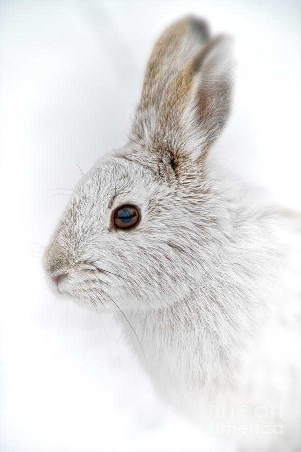 Snowshoe Hare Pictures 147 by World Wildlife Photography