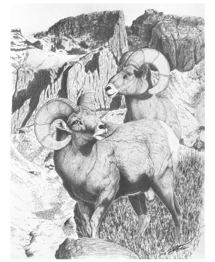 Snowstorm Mtn Rams Drawing