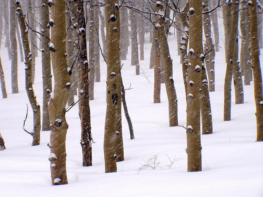 Aspen Photograph - Snowy Aspen by Carol Milisen