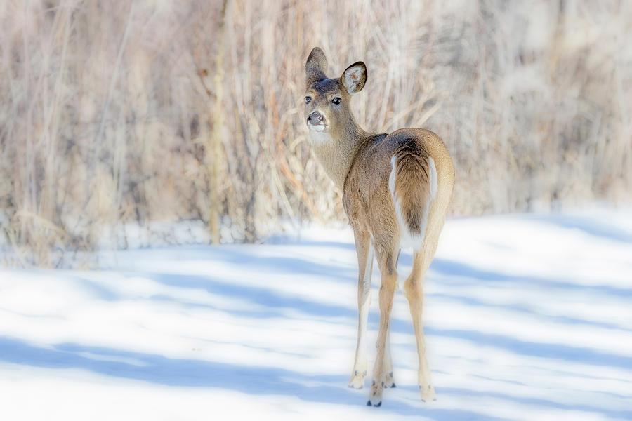 Snowy Deer by Vicki Stansbury