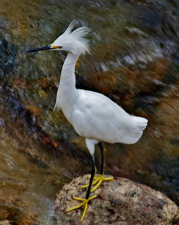 Snowy Egret 2 Photograph