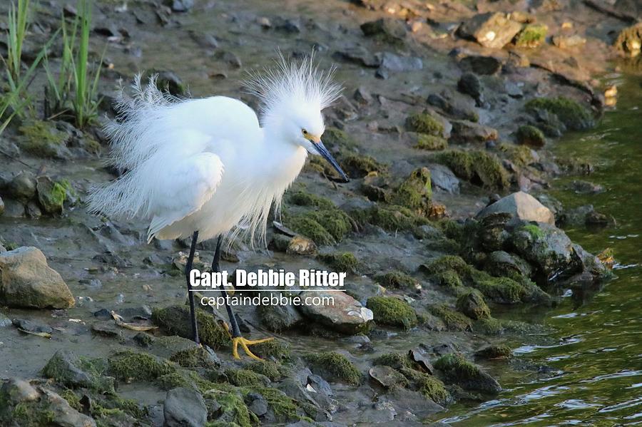 Snowy Egret Photograph - Snowy Egret 9053 by Captain Debbie Ritter