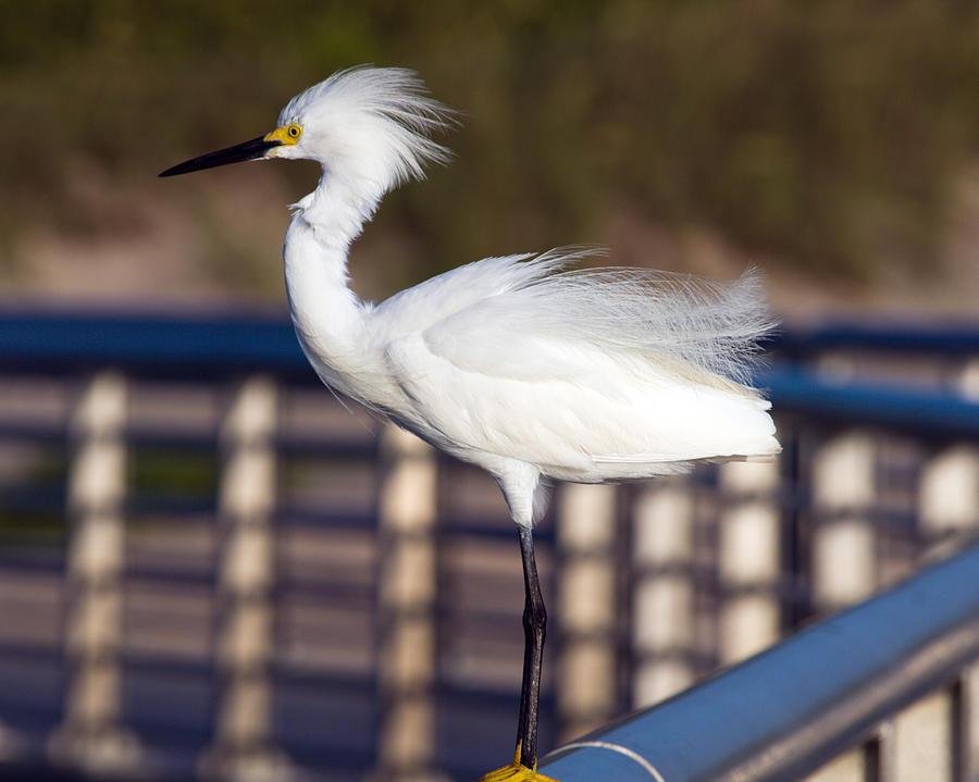 Snowy Egret  Photograph by Allan  Hughes