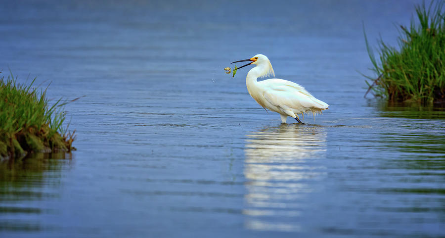 Snowy Egret Photograph - Snowy Egret at Dinner by Rick Berk