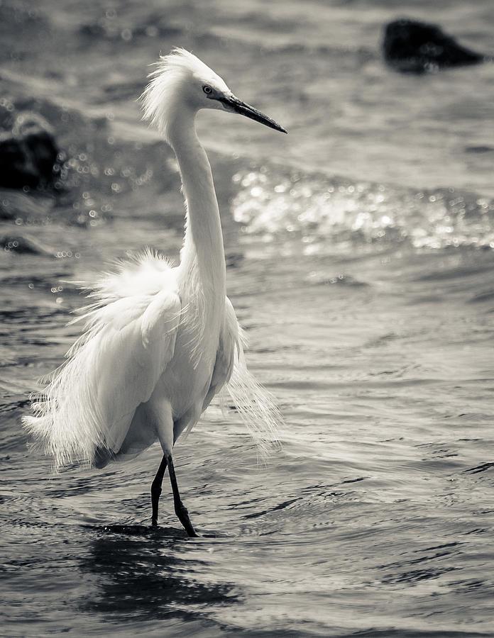 Birds Photograph - Snowy Egret At Lake Chapala by Dane Strom