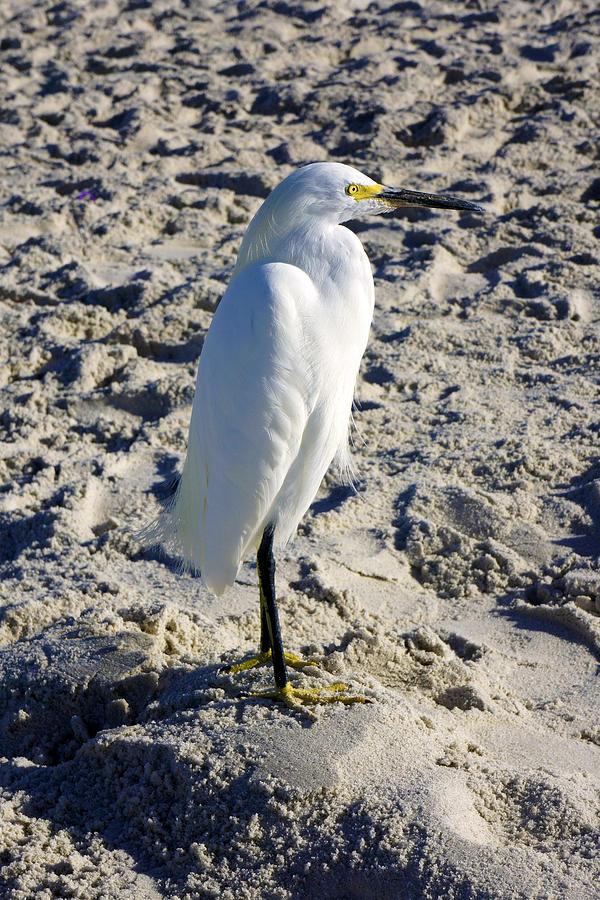 Snowy Egret at Naples, FL Beach by Robb Stan