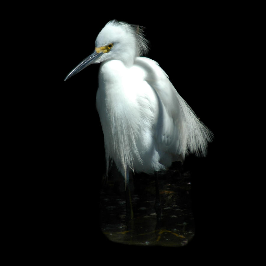 Snowy Egret by David Weeks