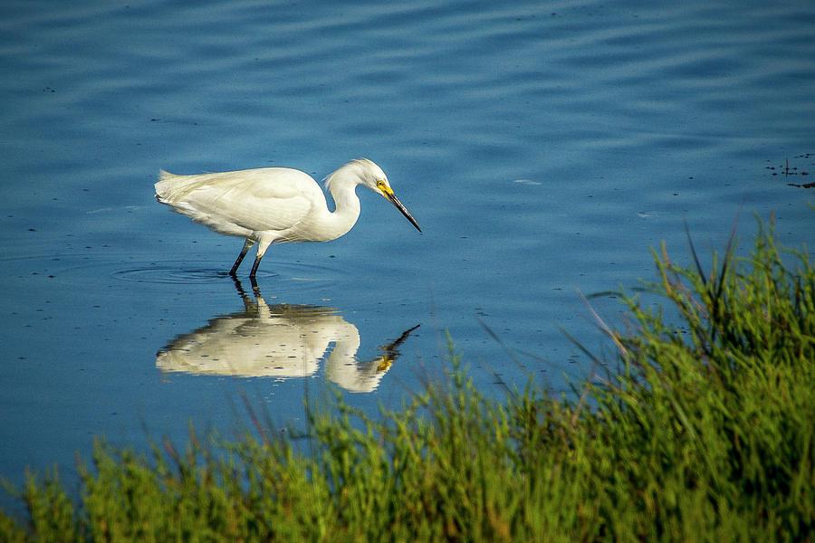 Birds Photograph - Snowy Egret Feeding  by Donald Pash