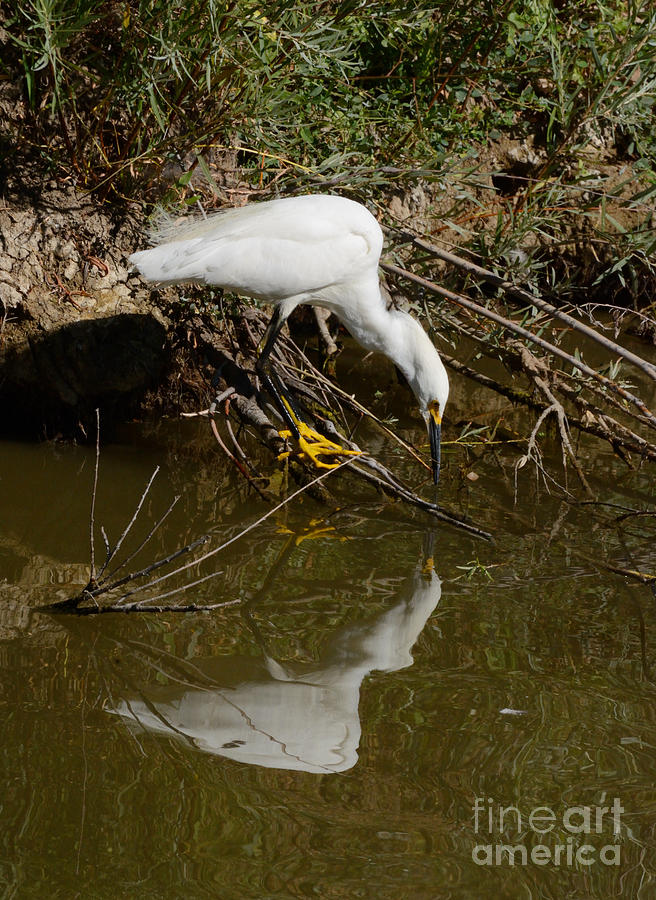 Snowy Egret Photograph - Snowy Egret Fishing From Branches by Merrimon Crawford