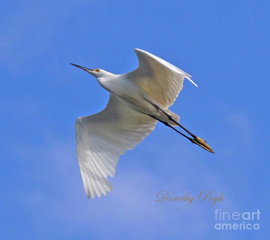 Snowy Egret in Flight by Dorothy Pugh