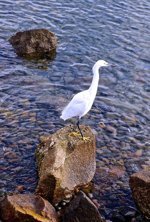 Snowy Egret by Joy Buckels