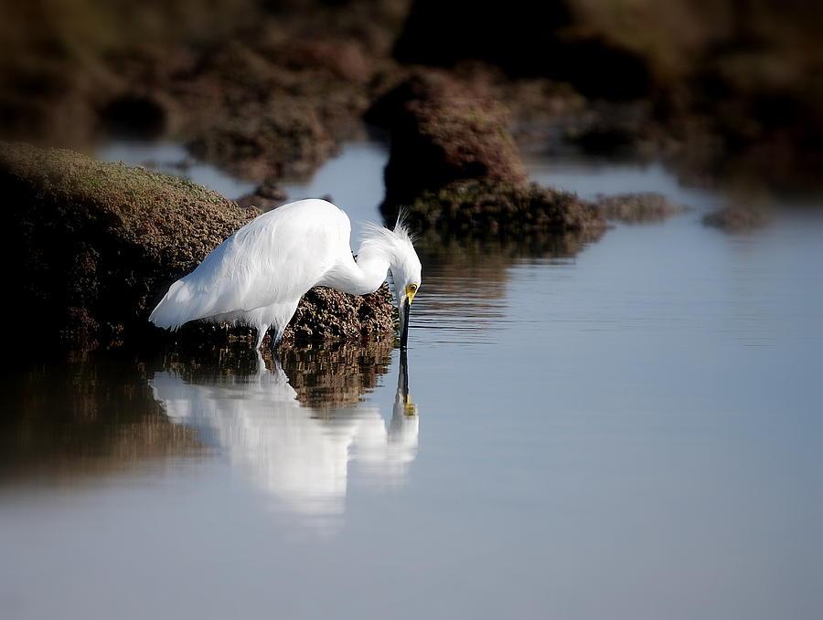 Egret Photograph - Snowy Egret by Lj Maxx