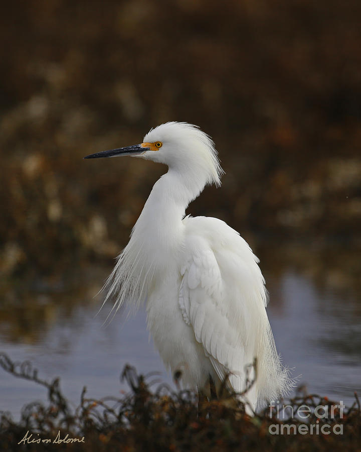 Snowy Egret Profile by Alison Salome