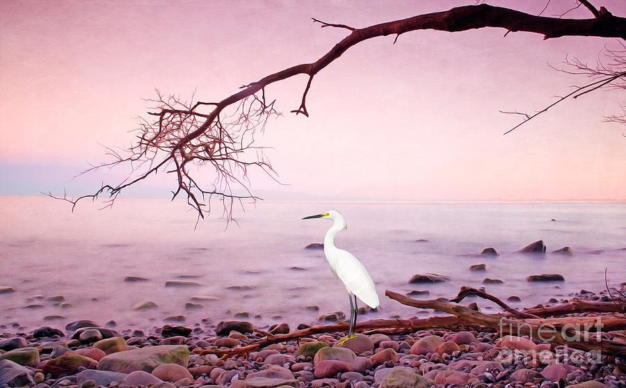 Snowy Egret Photograph - Snowy Egret Solitude by Laura D Young