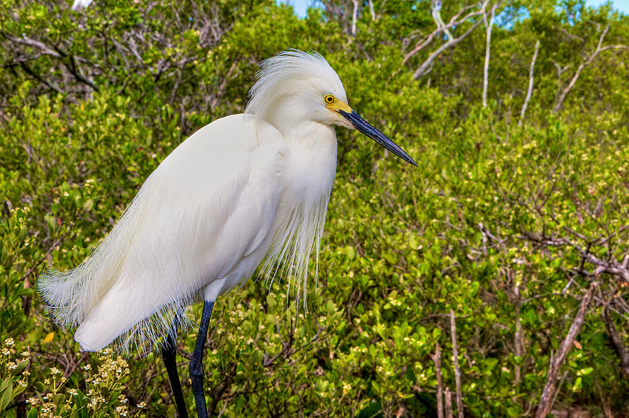 Snowy Egret Photograph - Snowy Egret by William Wetmore