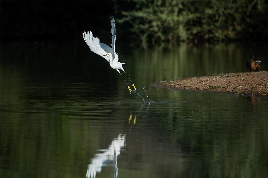 Snowy Photograph - Snowy Egrets 080917-4290-1 by Tam Ryan