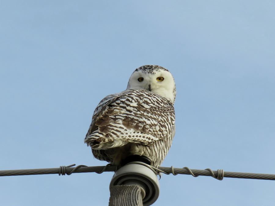 Snowy Owl Photograph