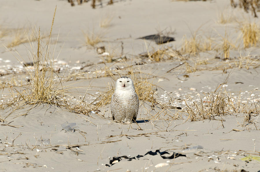Snowy Owl Breezy Point by Maureen E Ritter