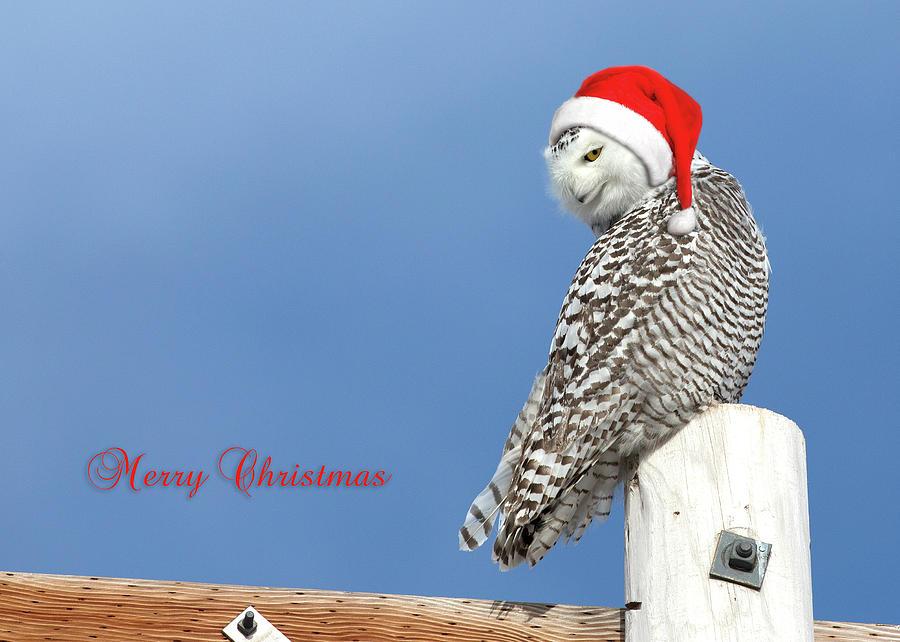 Snowy Owl Photograph - Snowy Owl Christmas Card by Everet Regal