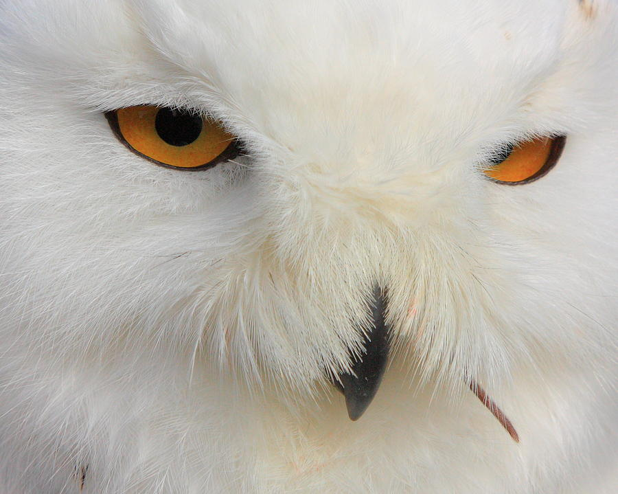 Birds Photograph - Snowy Owl close by Larry Federman