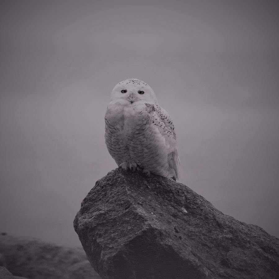 Long island photograph snowy owl in black and white by karen silvestri