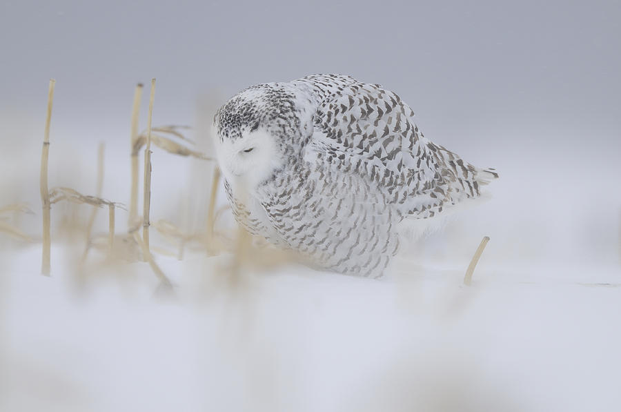 Bird Photograph - Snowy Owl In The Storm by Philippe Francis