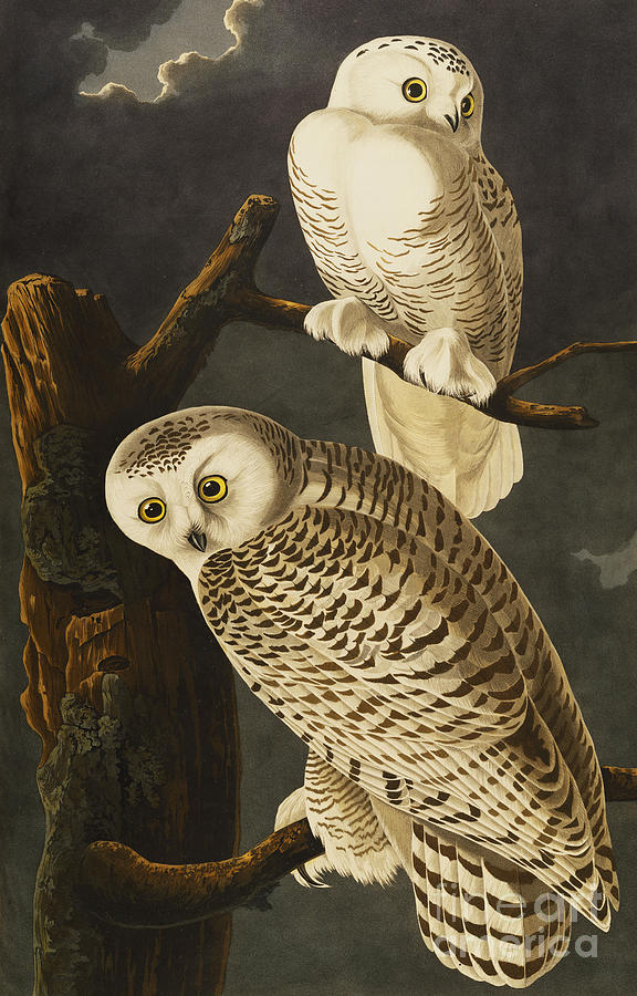 Owls Drawing - Snowy Owl by John James Audubon