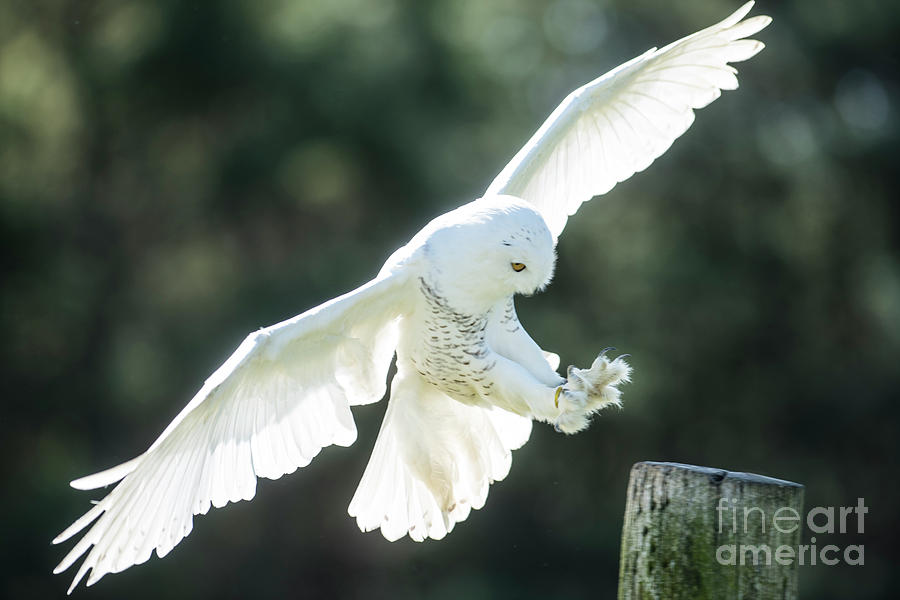 Snowy Owl Landing-2755 by Steve Somerville