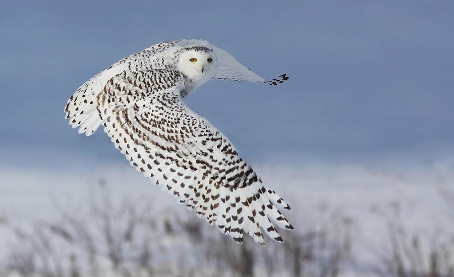 Nature Photograph - Snowy Owl by Mircea Costina