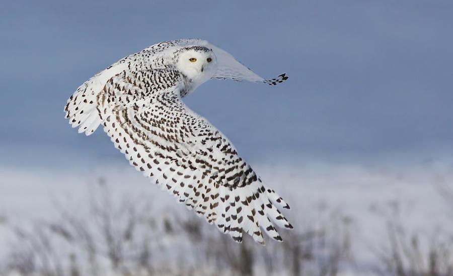 Wildlife Photograph - Snowy Owl by Mircea Costina