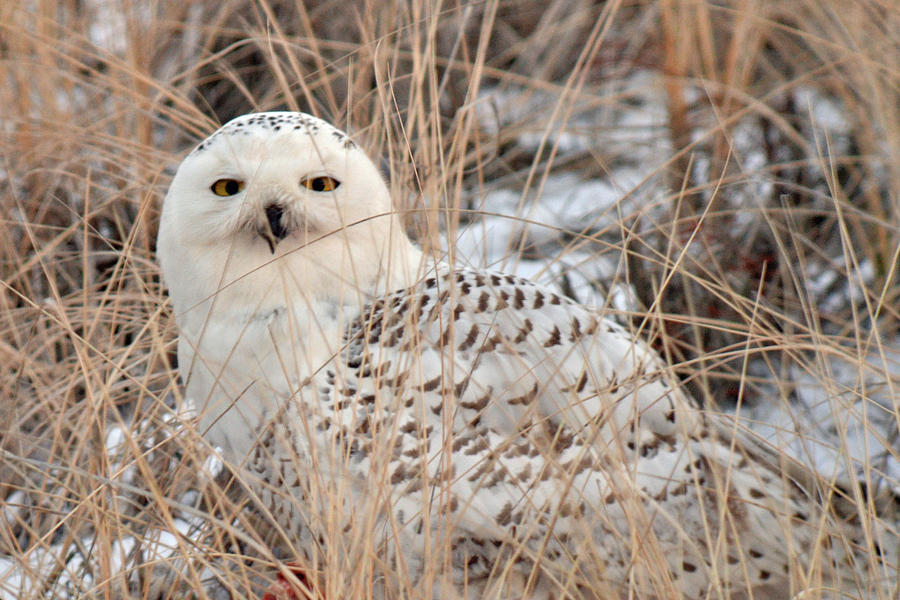Snow Photograph - Snowy Owl by Nancy Landry