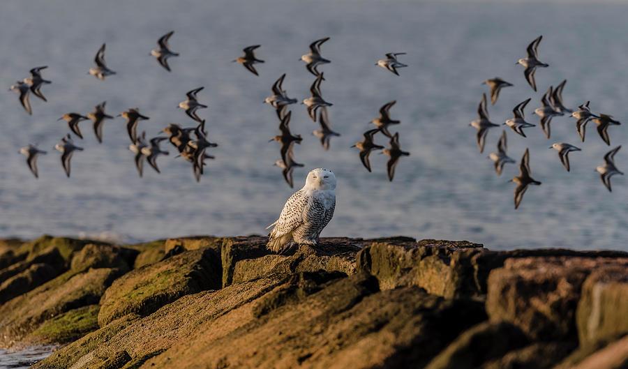 Snowy Owl Photograph - Snowy Owl On A Jetty by Morris Finkelstein