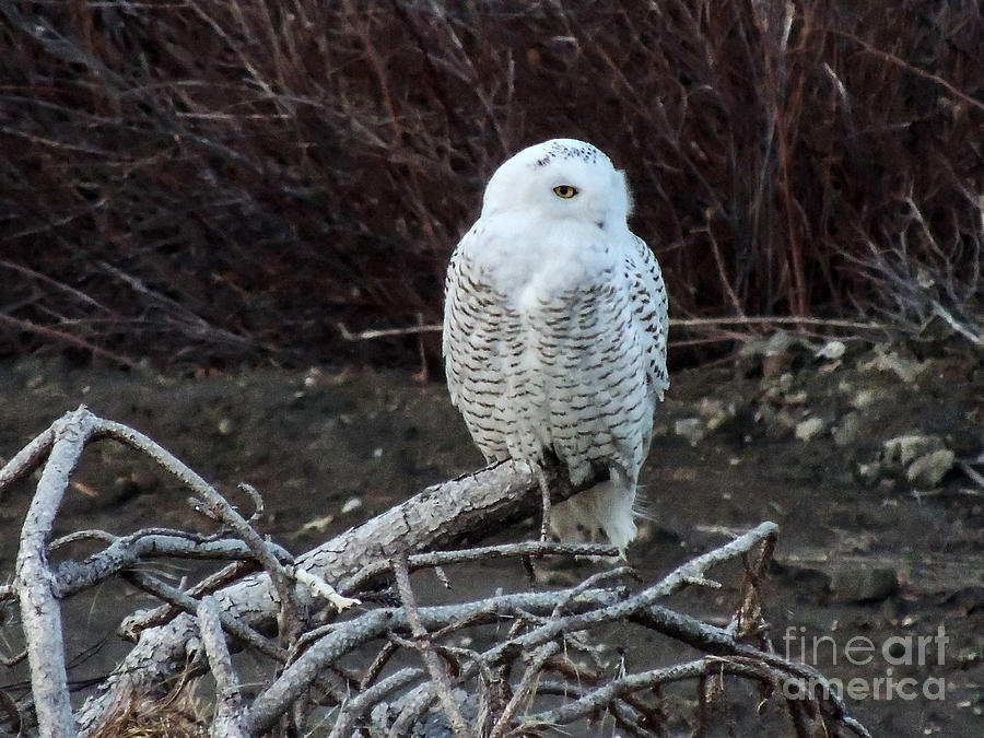 Snowy Owl by Patrick Fennell