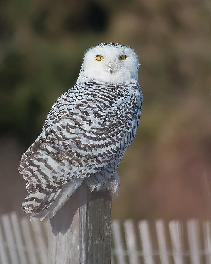 Snowy Owl Portrait 1 by Georgia Wilson