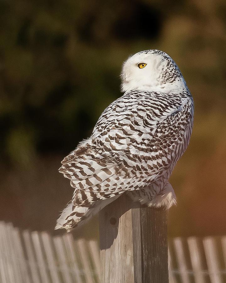 Snowy Owl Portrait 2 by Georgia Wilson