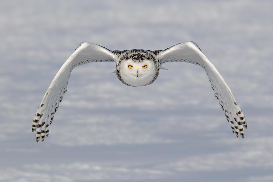 Snowy Photograph - Snowy Owl by Scott  Linstead